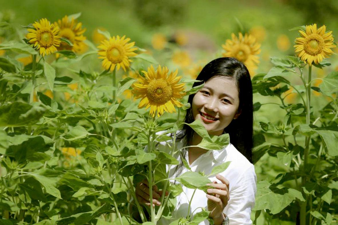 Vườn hoa Hướng dương rực rỡ dưới nắng vàng tại Yang Bay